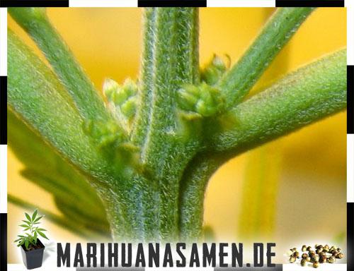 Männliche cannabis blüten