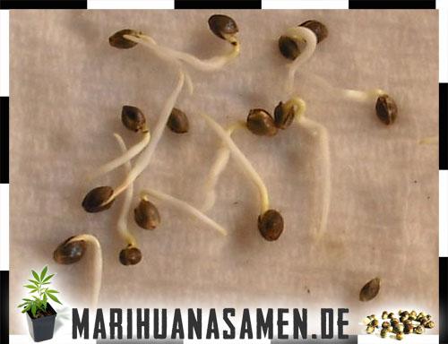 Marihuana Samen Keimen