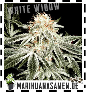 White Widow, die beliebtesten Cannabis in Holland
