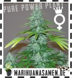 Weibliche  Power Plant Cannabissamen