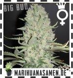Weibliche Big Bud Hanfsamen