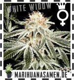 Weibliche White Widow Hanfsamen